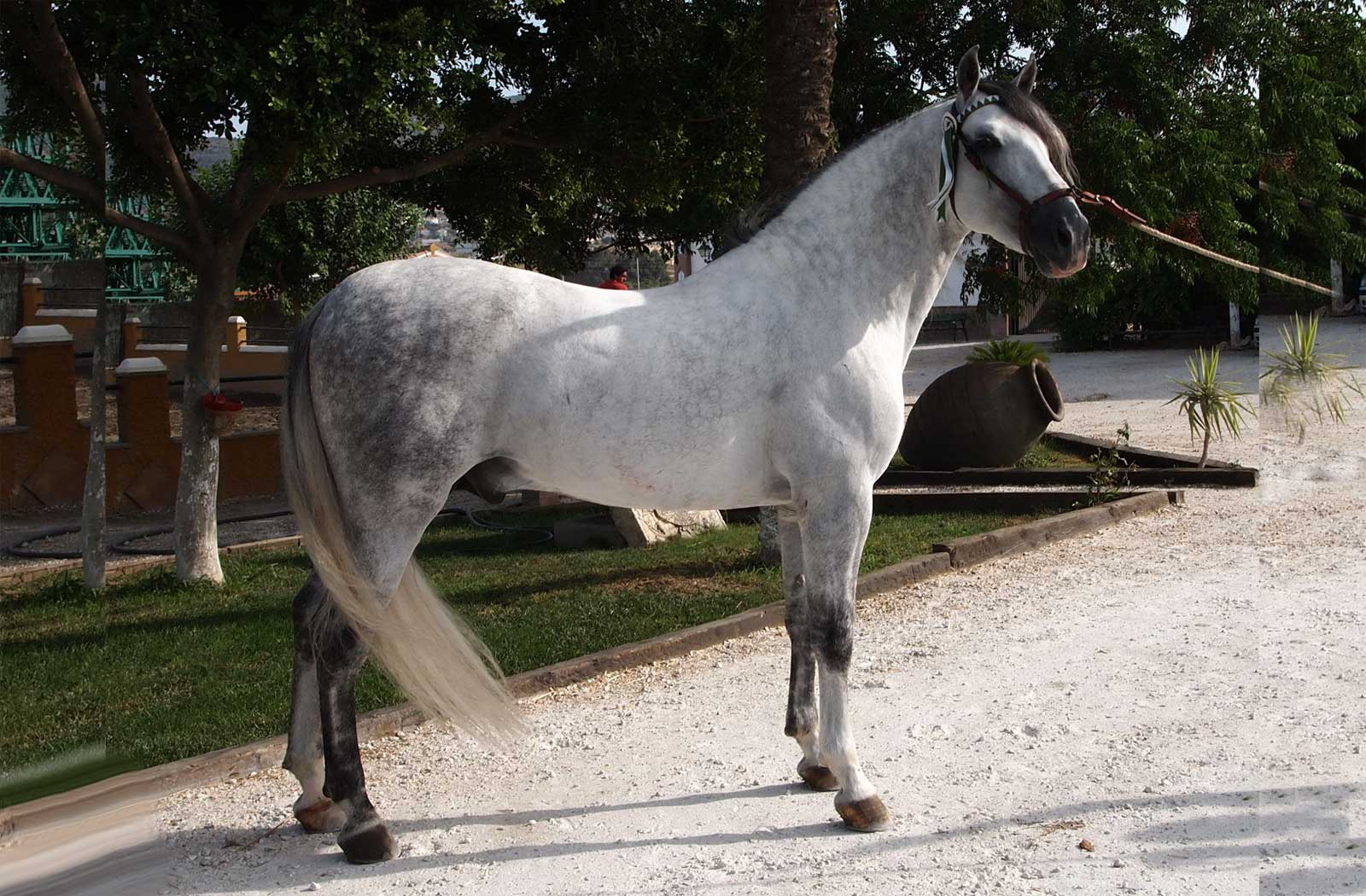 andalusian horses andalusian horses for sale